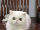 浙江温州纯种双血统加菲猫包邮出售