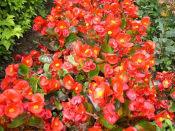 四季海棠批发商——四季海棠哪里有卖的