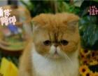 宠物猫波斯猫纯种黄白色波斯猫幼猫纯种宠物猫活体波斯