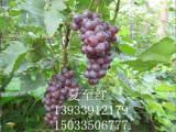高质量的葡萄苗出售金田美指葡萄苗哪家好