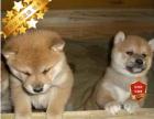 专业繁殖柴犬养殖基地 可以来犬舍里挑选