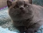 南充纯种蓝猫大概多少钱一只 在南充什么地方能买到纯种蓝猫