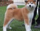 高品质高颜值秋田幼犬 重庆热卖 保纯种健康品质售后有保障