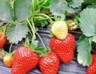 东莞桥头镇去哪里摘草莓好?摘草莓好去处采摘+钓鱼