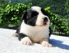纯种的边境牧羊犬多少钱 宠物店的狗靠谱吗