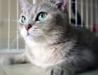 猫舍超可爱英短毛 金渐层等,大体型 大肥脸