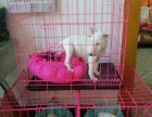 自家繁殖的牛头梗狗狗出售白色