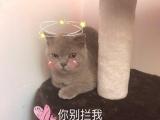 英短小帅哥 一定要喜欢猫