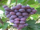 苏州葡萄苗,靠谱的葡萄苗出售