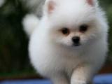 上海出售纯种小体棕黄色博美狗狗纯种幼犬公母都有包健康包纯种