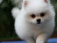 上海出售純種小體棕黃色博美狗狗純種幼犬公母都有包健康包純種