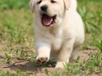 出售纯种拉布拉多幼犬 赛级品质 健康质保