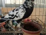 精品观赏鸽出售 品种多 价格低