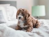 大同出售圣伯纳幼犬 高大威猛 疫苗都已做过