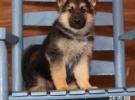 基地直销高品质德牧等品种幼犬 签协议 送用品