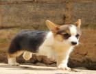 本犬舍成立至今已历经23年,拥有血统种犬四百多只柯基犬