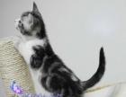 出售纯血统美国短毛猫虎斑加白—疫苗证书齐—终身质保