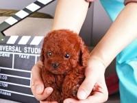 常年营业一出售精品纯种泰迪犬幼犬一血统纯正一包健康