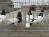 潮州养殖场大量出售 观赏鸽 元宝鸽 眼镜球鸽子