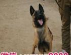 繁殖纯种黑脸马犬 终身免费饲养指导 可签协议