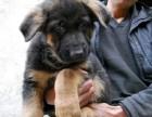 出售精品德国牧羊犬 黑背幼犬 骨骼大血统纯可签协议