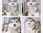 哪里有纯种阿拉斯加健康有保障可签购犬协议