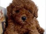 圆脸可爱卡哇伊泰迪幼犬 纯种健康小体支持送货上门