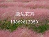 鼎达花卉苗木供应价位合理的粉黛乱子草|粉黛乱子草种植基地