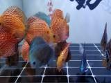 上海錦鯉養殖場批發 臨售錦鯉魚