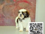 西施犬纯正健康出售-幼犬出售,当地可以上门挑选