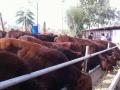 山西省忻州市肉牛场小牛蛋价格