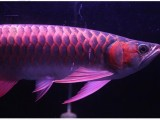 热带鱼,观赏鱼,发财鱼 龙鱼 锦鲤鱼