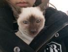 暹罗猫短毛巧克力色玳瑁纯种短毛猫