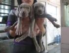 本地威玛猎犬出售 门神守护者 血统纯品相极佳