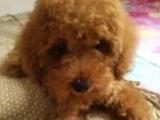 低价急售泰迪犬350元