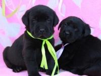 宁波出售纯种拉布拉多导盲巡回犬短毛拉布拉多幼犬神犬小七