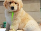 重庆金毛犬多少钱 重庆金毛犬哪家有纯种