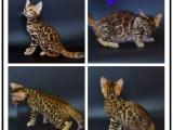 里有出售寵物貓豹貓包純種健康送貨上門