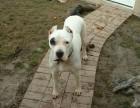 个人饲养的杜高犬出售 杜高犬图片