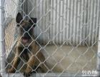 衢州莱州红多少钱,哪里出售莱州红犬幼犬