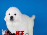湛江哪里有卖健康的大白熊犬