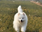 本地出售纯种萨摩耶 微笑天使 澳版大骨量 萨摩耶幼犬