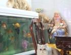 加菲猫2500-4000元 异国短毛加菲猫