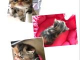 加菲猫自家繁殖