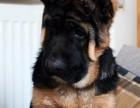 高品质德国牧羊犬,三个月健康保证