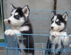 直销精品幼犬、品质保证,血统纯正,欢迎上门挑选狗狗