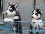 正規繁殖基地出售大中小型寵物犬保健康可送上門選