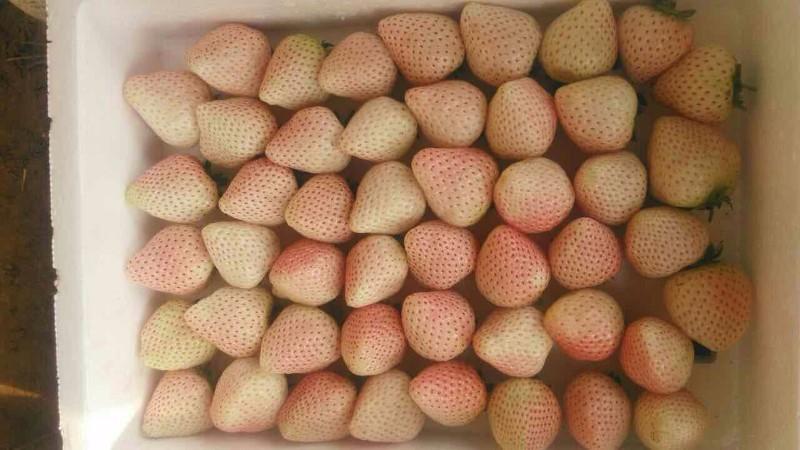 玉溪牛奶草莓采摘园!白色草莓!红塔区亲子周边游!草莓园!