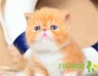 加菲猫虎斑加菲纯黑加菲纯种宠物猫咪