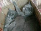 英国短毛纯种蓝猫